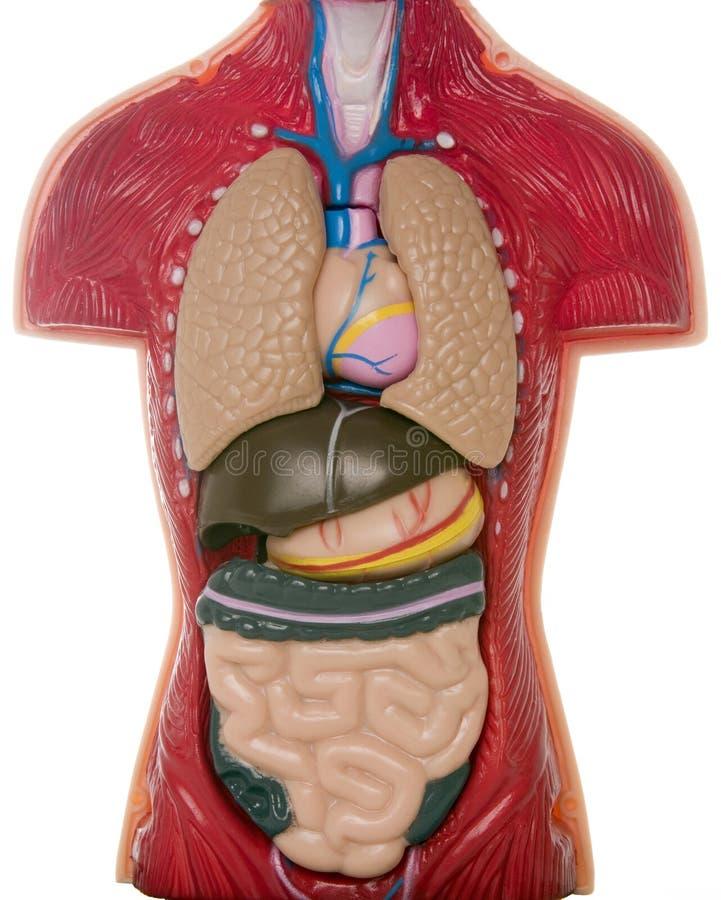 Órganos internos fotografía de archivo
