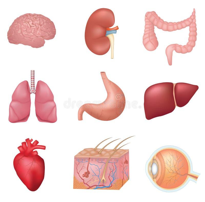 Órganos internos humanos ilustración del vector. Ilustración de ...