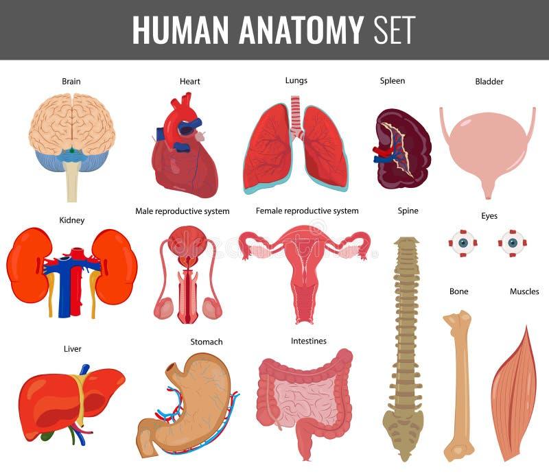 Lujoso Humanos órganos Internos Fotos Viñeta - Imágenes de Anatomía ...