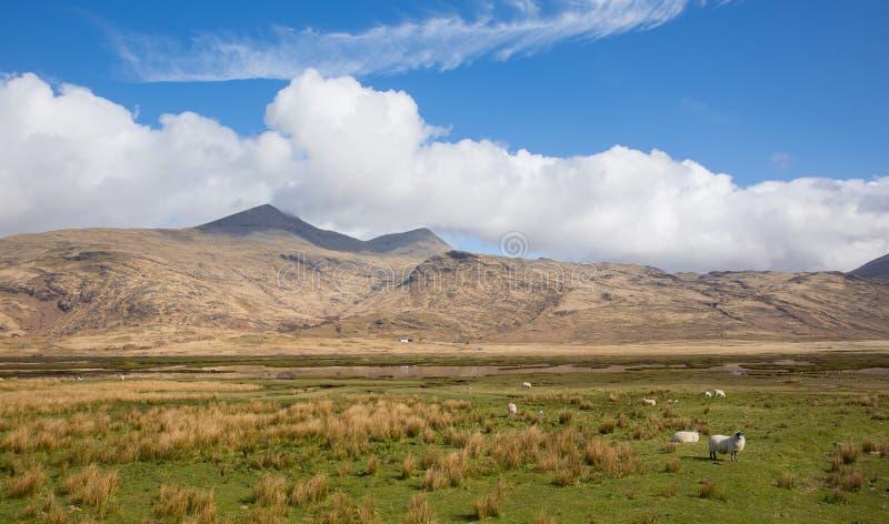 Ö av Mull Skottland UK bygdplatsen med det Ben More berget och får arkivfoton