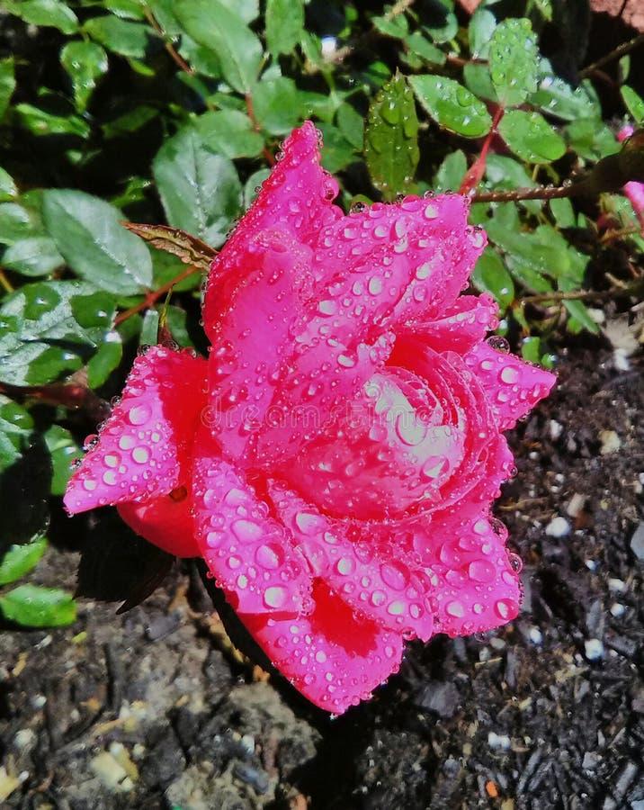 Ödelägga rosa royaltyfri fotografi