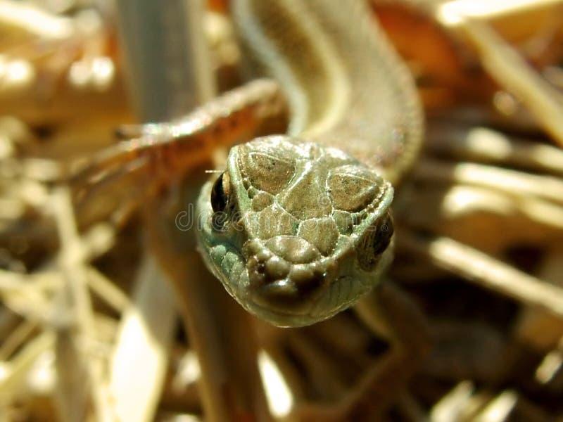 Download ödla fotografering för bildbyråer. Bild av reptil, ögonkast - 36987