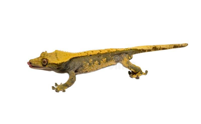 Ödla krönad gecko som isoleras på vit bakgrund royaltyfri foto