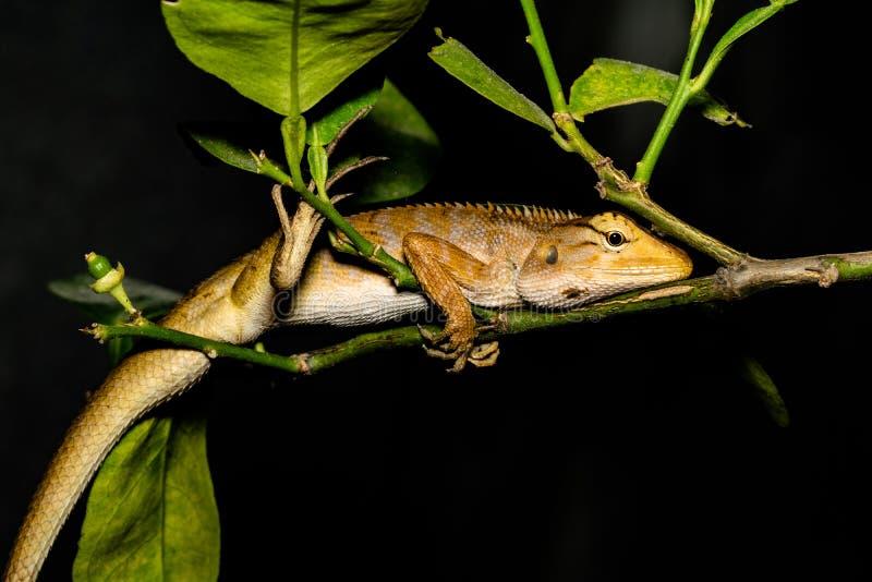 Ödla leguan, gecko, Skink arkivbilder