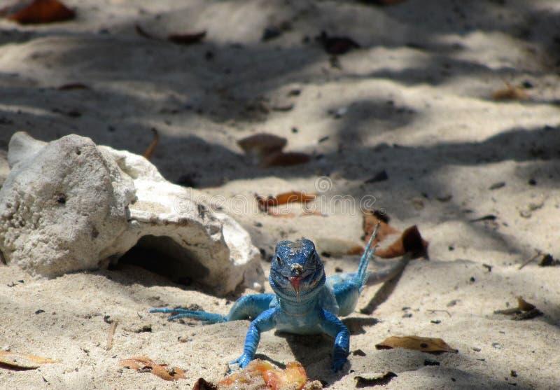 Ödla på stranden arkivbild