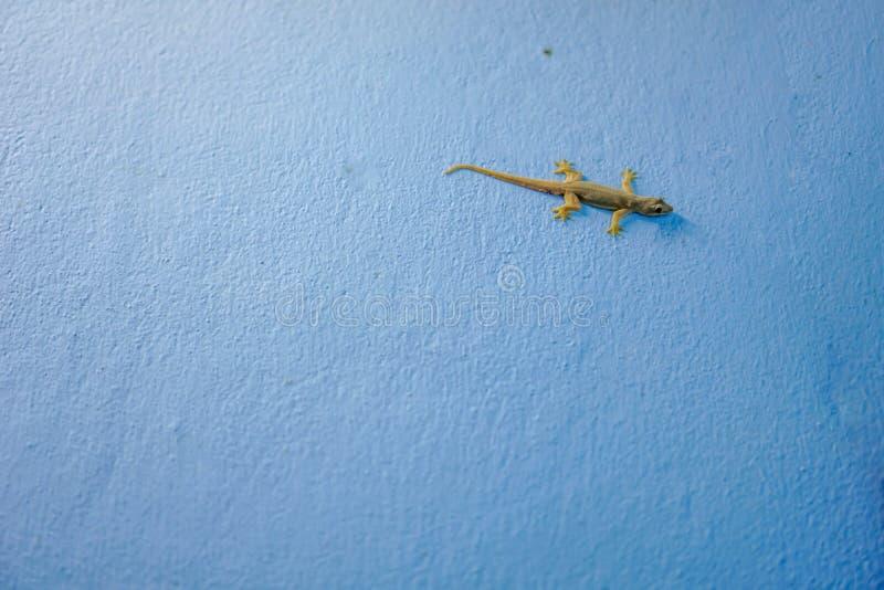 Ödla på väggen av blått royaltyfria bilder