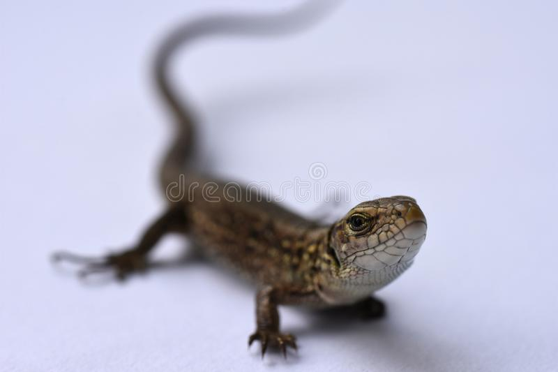 Ödla rovdjur, jakt, reptilar, salamander, lädergods, jakt, problemhud, ändrande utseende, växande delar av bet arkivfoton