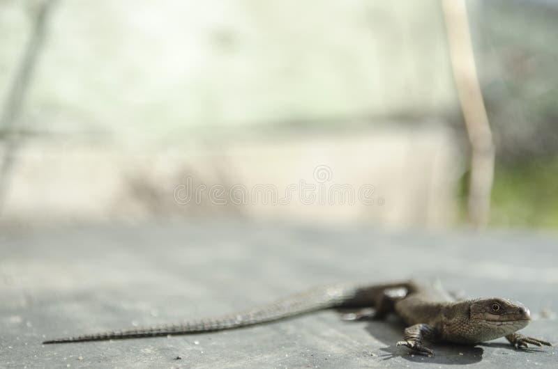 Ödla som ser naturen fotografering för bildbyråer