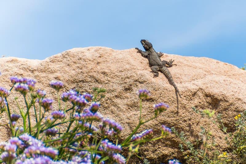 Ödlan som sitter på, vaggar med att blomma blommor på förgrund royaltyfria foton
