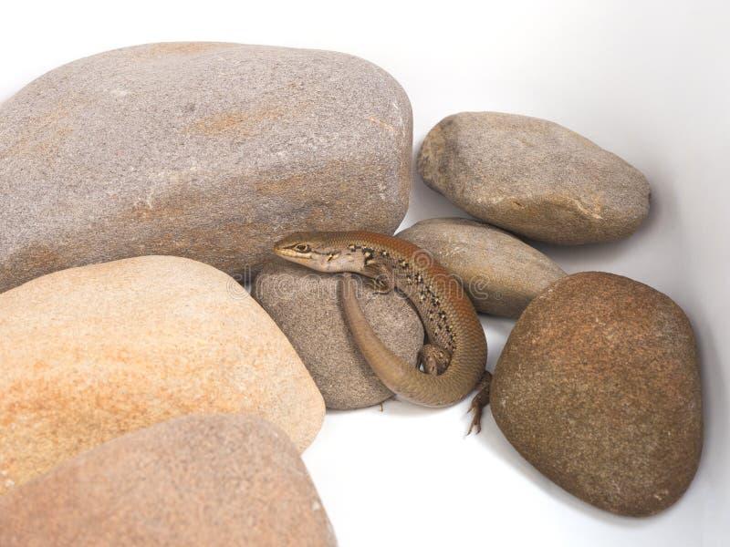 Ödlan som vilar på rundat, vaggar arkivbild