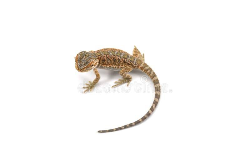 Ödlan uppsökte draken som isolerades på vit bakgrund royaltyfria bilder