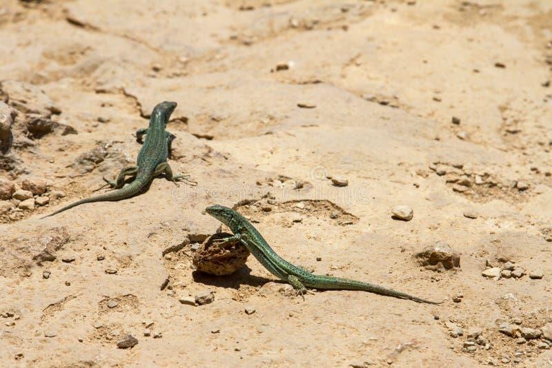 Ödlor på Formentera royaltyfri foto