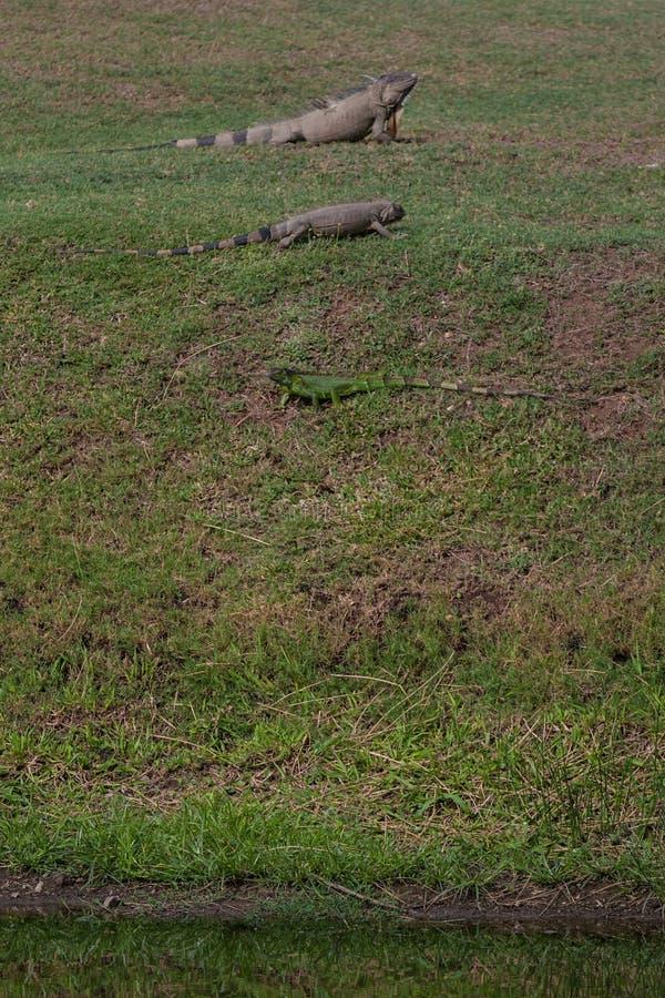 Ödlor på gräs i Costa Rica arkivfoton