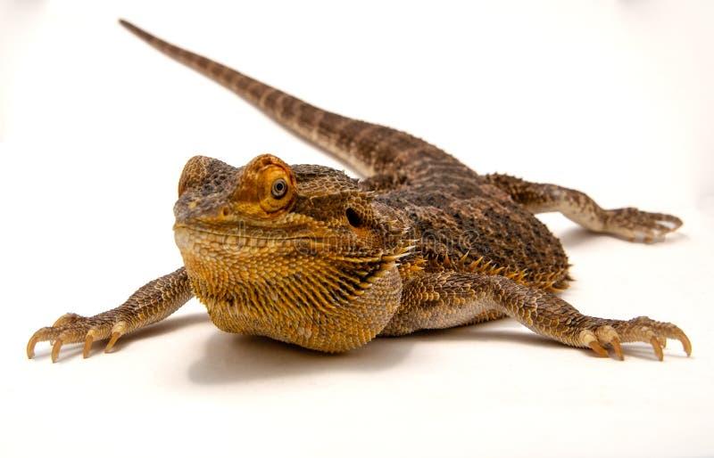 Ödlor uppsökte Dragon Silhouette arkivbilder