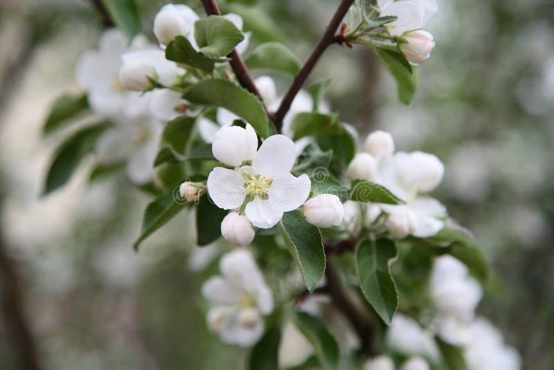 Öffnen Sie Blume auf einer Niederlassung des sibirischen Apfels lizenzfreies stockfoto