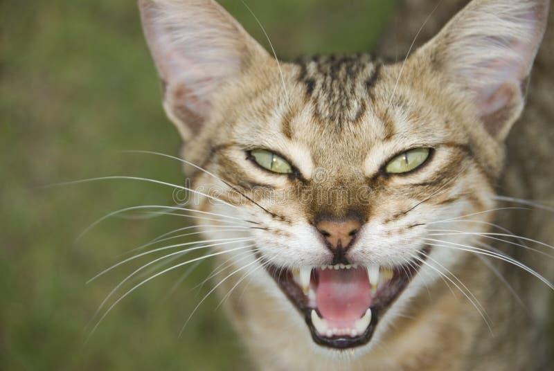 Öffnen Sie Mouthed Katze stockfotografie
