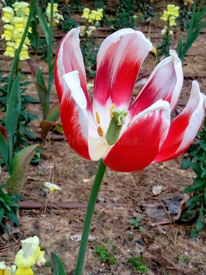 Öffnen Sie rote und weiße Tulpenblume in einem Garten lizenzfreie stockfotos