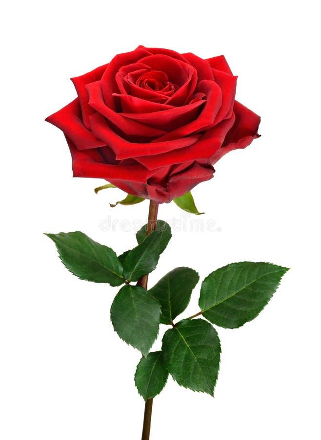 Öffnen Sie Rotrose auf Weiß stockbilder