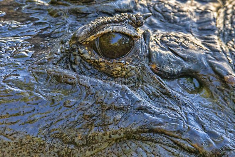 Öga av alligatorn royaltyfria foton