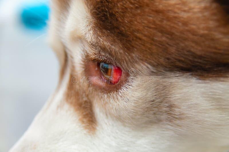 Öga av en hund med en blödning resultera från ett slag till huvudet Siberian skrovligt som fås under bilen, en traumatisk hjärnsk royaltyfri foto