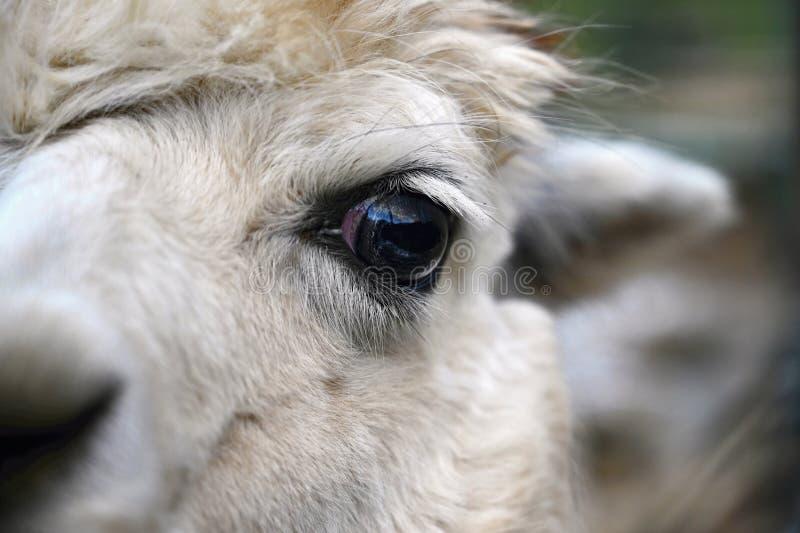 Öga av en lama Detaljerat foto av det djura ögat royaltyfri fotografi