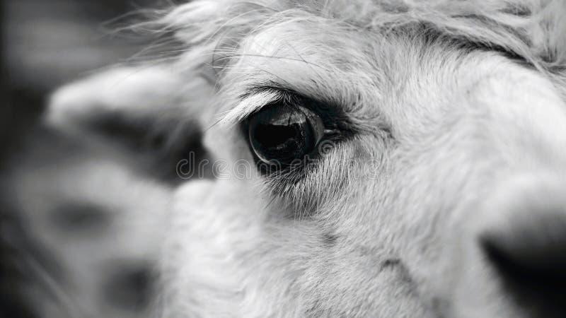 Öga av en lama Detaljerat foto av det djura ögat royaltyfria bilder