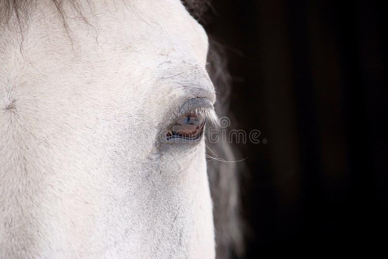 Öga av en prickig vit häst som framme ser oss av stallen royaltyfri fotografi