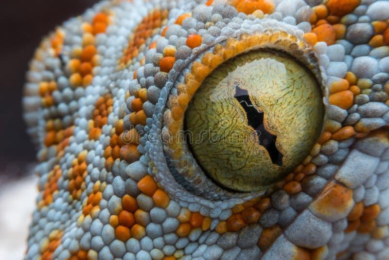 Öga av geckon fotografering för bildbyråer