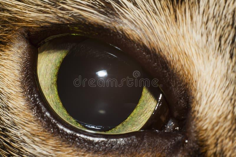 Öga av katten royaltyfri fotografi