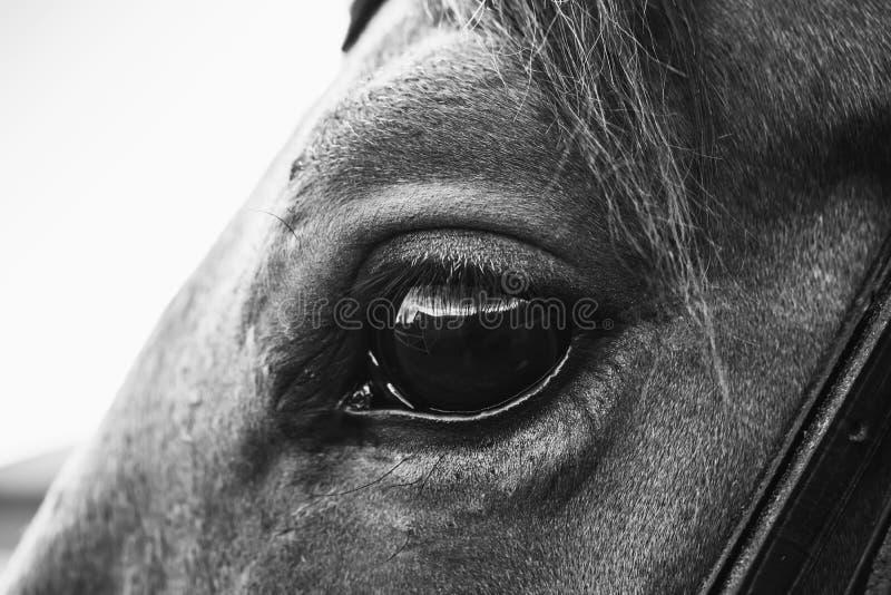 Ögat av ett hästslut upp svartvitt arkivbild