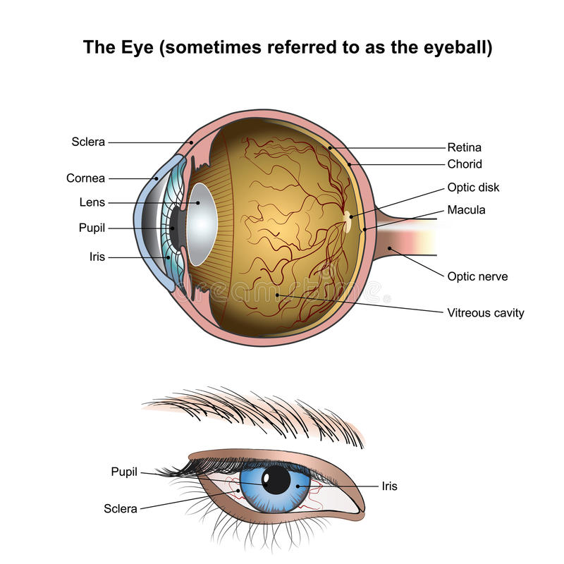 Ögat eller ögongloben royaltyfri illustrationer