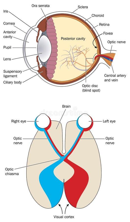 Ögat och den visuella cortexet vektor illustrationer