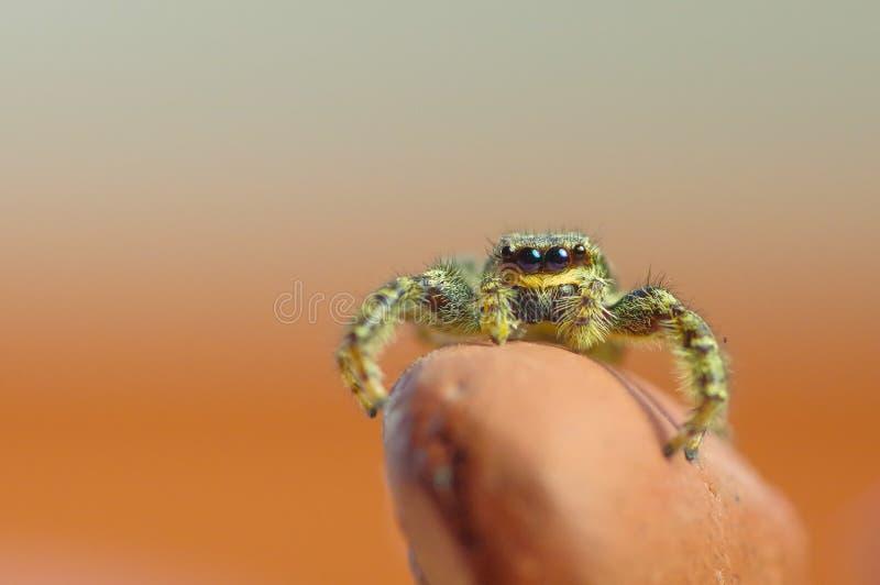 Ögon av spindelförklädet fotografering för bildbyråer
