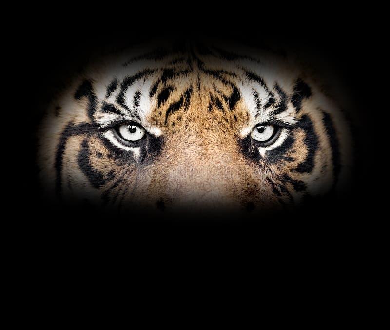 Ögon av tigern royaltyfria foton