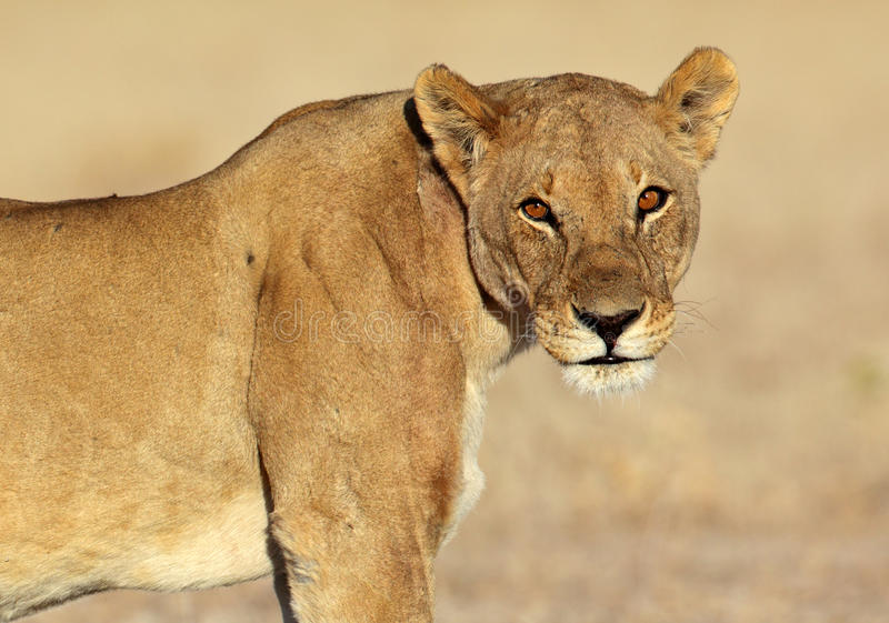 ögon glare henne lionsoluppgången arkivfoton