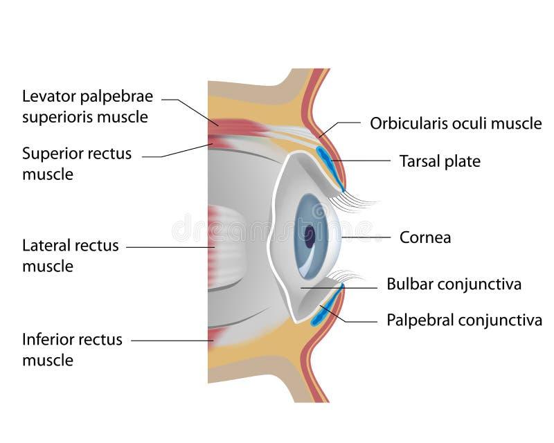 Ögonconjunctiva royaltyfri illustrationer