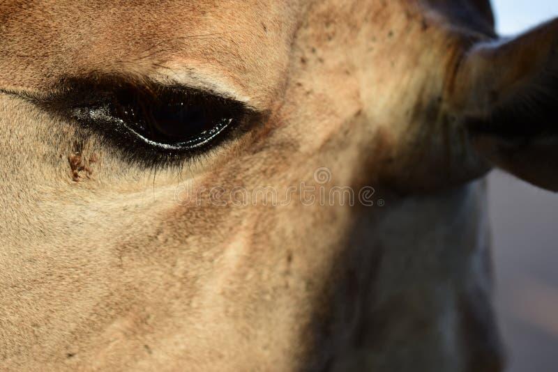 Ögonen av den nära giraffet royaltyfri fotografi