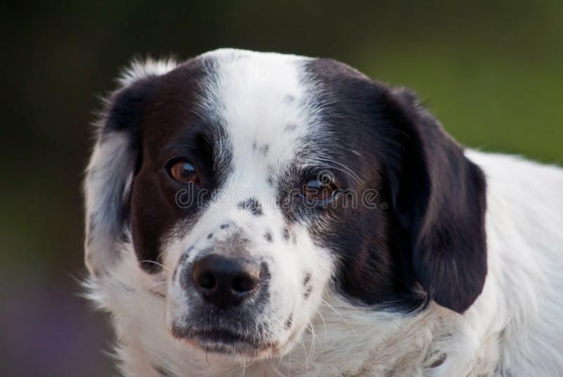 Ögonen av hunden är språket som han talar arkivfoton