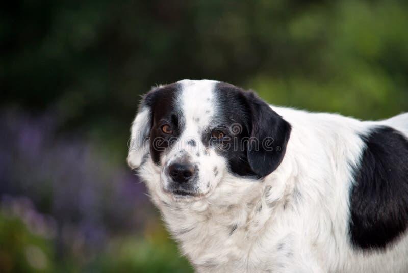 Ögonen av hunden är språket som han talar royaltyfria foton