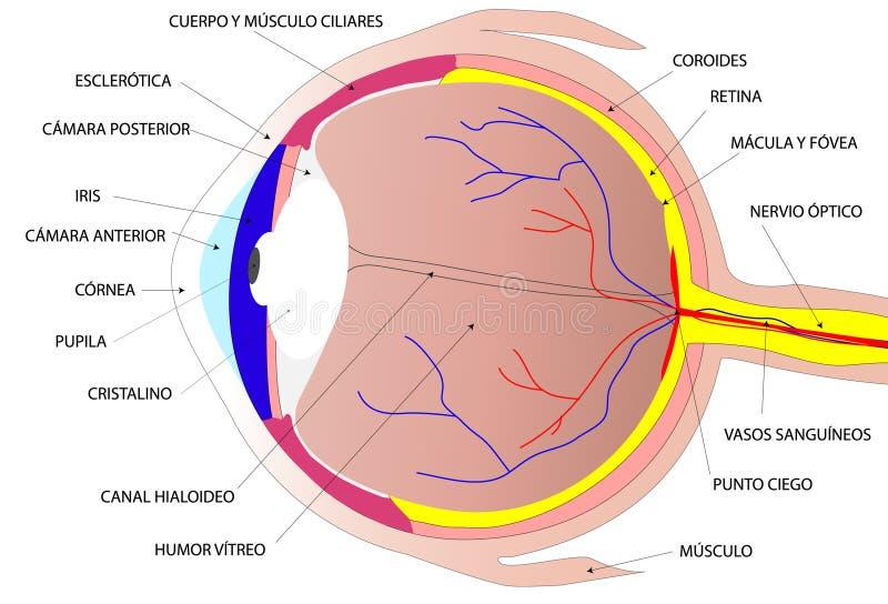 ögonhuman vektor illustrationer
