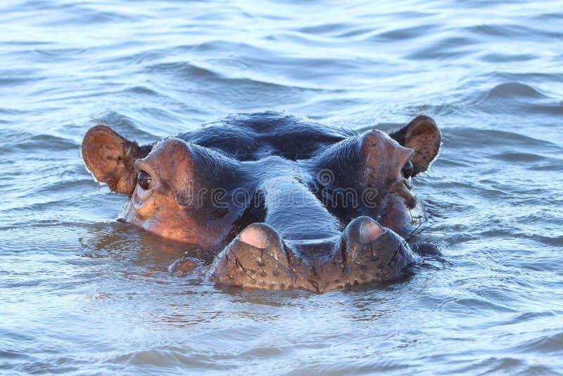 Ögonkontakt med flodhästen i sjön St Lucia i Sydafrika royaltyfria foton
