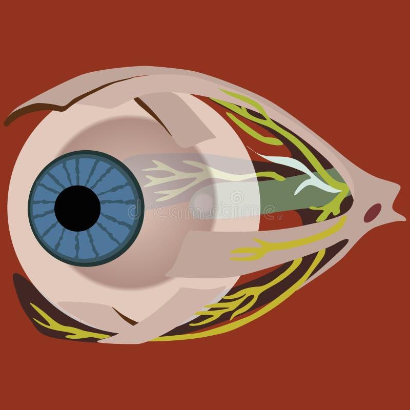 ögonmuskler stock illustrationer