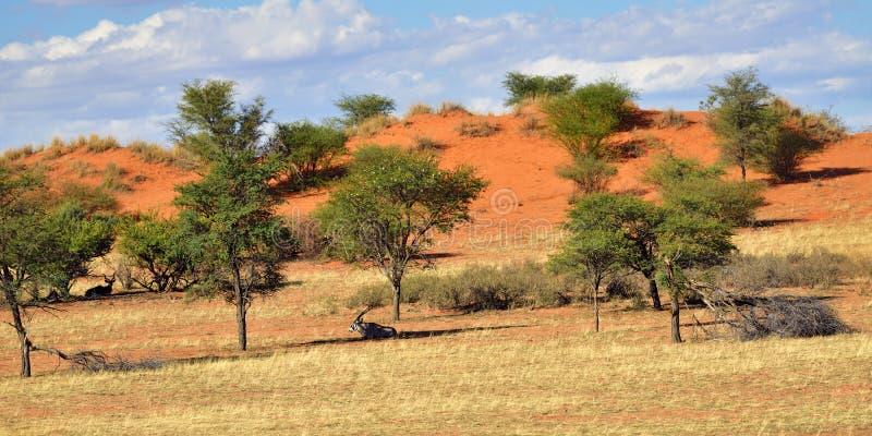 öken kalahari namibia royaltyfria bilder