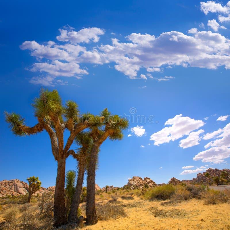Öken Kalifornien för Joshua Tree National Park Yucca dalMohave fotografering för bildbyråer