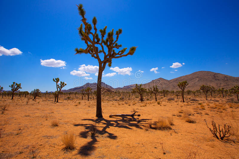Öken Kalifornien för Joshua Tree National Park Yucca dalMohave royaltyfri fotografi