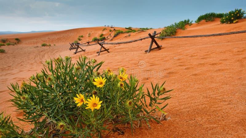Ökenblommor på Coral Pink Sand Dunes State parkerar royaltyfria bilder