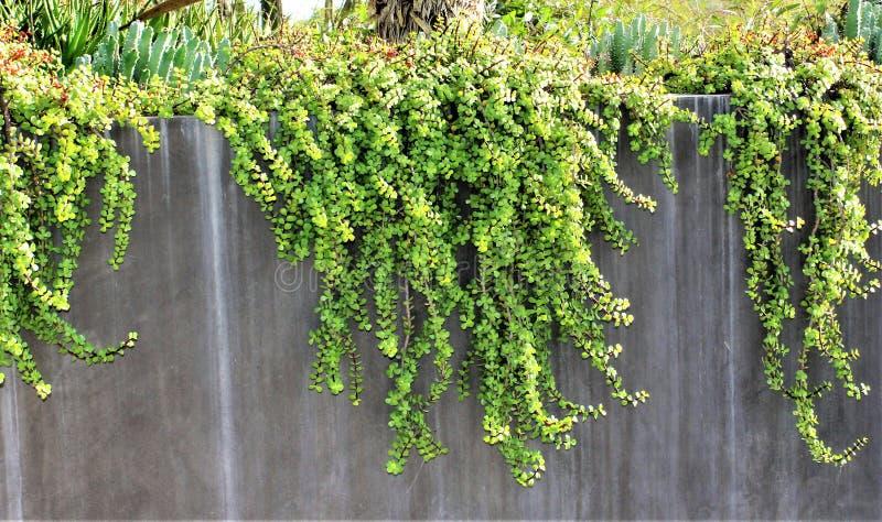 Ökenbotanisk trädgård Phoenix, Arizona, Förenta staterna royaltyfri bild
