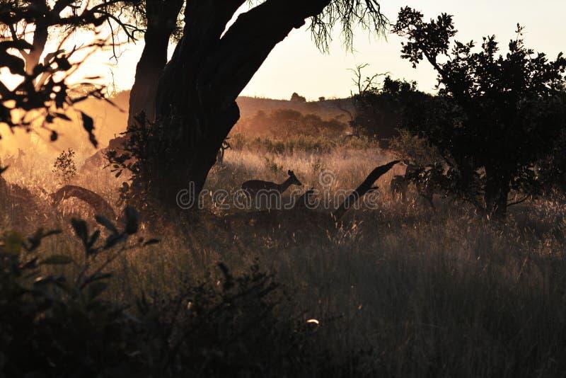 ökenkalahari solnedgång royaltyfria foton