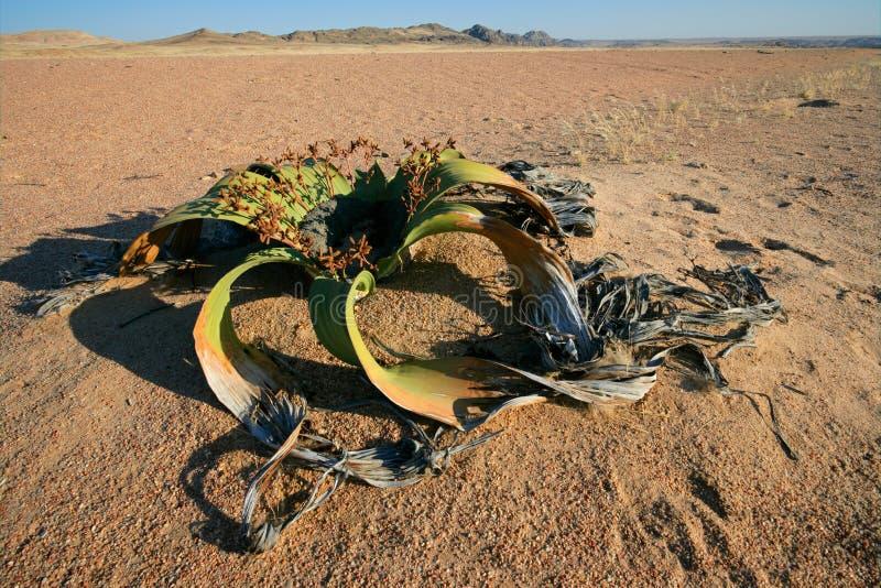 ökennamibwelwitschia arkivbild