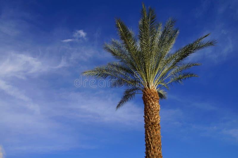 Ökenpalmträd arkivfoton